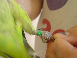 Emergency Removal Of A Bird'S Leg Band At Home 120
